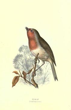 Robin rotkehlchen - Familiar wild birds / - Biodiversity Heritage Library