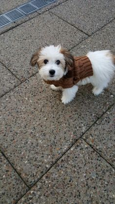Coton de Tulear - 11 weeks old puppy