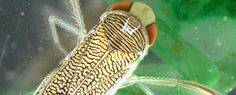 Un insecto acuático invasor en la península coexiste con las especies nativas (24/07/2017)