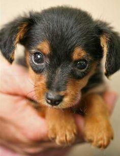 Oh my, I think I'm in love ♥ yorkie/mini dachshund. soo cute. gonna have to find little radley a dachshund girl ;)