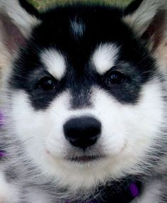 One of the oldest breeds is the alaskan malamute. Check out some different information and images regarding the malamute puppy and dog. Alaskan Malamute Puppies, Malamute Husky, Alaskan Husky, Husky Puppy, Best Dog Breeds, Small Dog Breeds, Small Breed, Baby Animals, Cute Animals