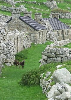 A couple of Soay Sheep, the only inhibitants of Main Street, Village Bay, Hebrides, Scotland