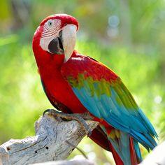 Parrot shutterstock_83580814