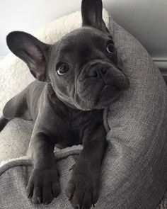 (Article) French Bulldog Grooming Tips Tools-(Article) Bouledogue Français Conseils de toilettage outils et conseils utiles…. (Article) French Bulldog Grooming tips useful tools and tips. How to wash well are French Bulldog - Cute French Bulldog, French Bulldog Puppies, Cute Dogs And Puppies, Pet Dogs, Dog Cat, Doggies, Teacup French Bulldogs, Cute Small Dogs, Samoyed Dogs