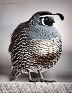 A lovely quail