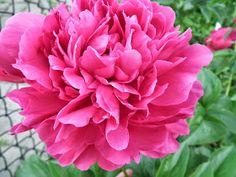 Peonies: Kansas - Fourth Week of Blooms