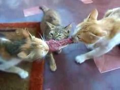 Three Cats Fighting Over Food