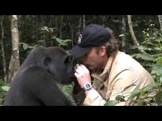 EMOTION : Un gorille retrouve l'homme qui l'a élevé 5 ans plus tard  TRES TOUCHANT