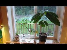 Indoor Avocado Tree: Growing your Own - YouTube