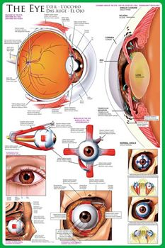 The Anatomy of THE HUMAN EYE Wall Chart Poster - Available at www.sportsposterwarehouse.com
