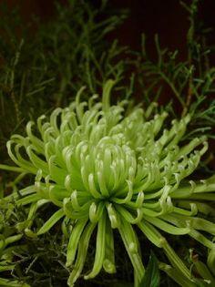green fuji mum #flowers