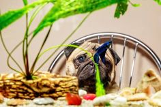 Now it's my turn to explain to my pet that I'm going on vacation and he has to stay home alone 😔 Now I understand what my humans feel every morning when they leave for work 😂😂😂 #mauricethepug #iulianmarcu #emotional #pet #vacation #seaside #vamaveche #fish #bettafish #summer #summervacation #vamavechehereicome #happy #pugchat #puglife #pug #mops #dog #puppy #ilovemypet
