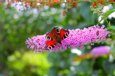 L'arbre à Papillons attire les...