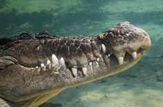 Close-Up Of Saltwater (Blue) Crocodile Underwater Poster Print (38 x 24)