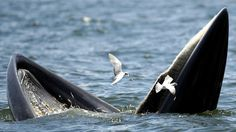 Brydes Whale feasting on anchovies.  Yum