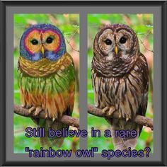 """The painted """"rainbow owl"""". Nothing but a Barred Owl that's been photoshopped."""