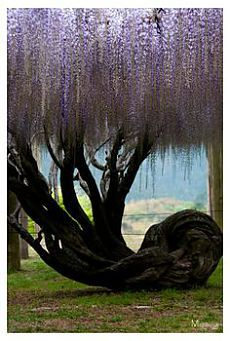 Wisteria tree at Kawachi Wisteria Garden in Fukuoka, Japan. I love Wisteria Wisteria Garden, Wisteria Tree, Purple Wisteria, Wisteria Japan, Wisteria Wedding, Unique Trees, Old Trees, Nature Tree, Flowers Nature