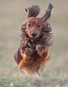 Speedy - Imgur #doxie