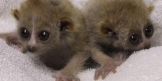 The El Paso Zoo has two more mouths to feed, albeit very tiny ones. Extremely rare twin pygmy slow lorises were born April 26 and are finally making their media debut. The male and female babies were about the weight of two tablespoons of sugar when they were born. The nocturnal slow loris is on the vulnerable list of endangered species.