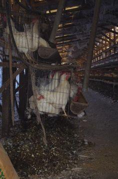 鶏の一生。平飼いの親鶏が産む卵は卵臭さがありません。 良い卵は赤卵、黄身の色が濃く弾力があるもの?違います☺︎
