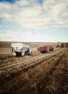 Idaho Potato Harvest, October 2013. Rexburg, Idaho
