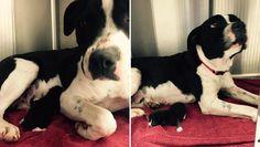 Stray Pit Bull Adopts Orphaned Kitten, Nurses Her Until Rescue Arrives