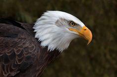 Bald Eagle - Raptor Conservancy Southwest Ontario Canada
