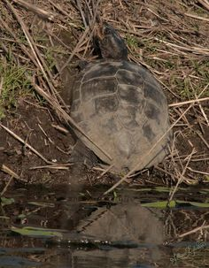 Western Pond Turtle - Photo taken near Baskett Slough NWR by Lillian Egleston