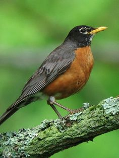 Robin bird | The American Robin Duncraft.com Wildbird Blog for Nature Enthusiasts ...