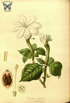 Stompdoom. Gardenia thunbergia (as Gardenia crassicaulis) Hooker, W., Salisbury, R.A., The paradisus  Londinensis (1805) [W. Hooker] | by Swallowtail Garden Seeds