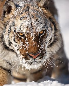 "beautiful-wildlife: "" Amur Tiger by suhaderbent """