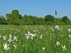 Ha tengernyi nárciszt szeretnétek látni, ezt a 2 helyet keressétek 5 Plants, Plant, Planets