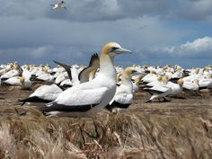 Cape gannets | Cape Kidnappers Gannets | BIRDS - of the Sea | Pinterest