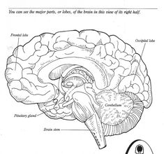 Human Brain Diagram Label Essay Writing Sandwich Labeled Unlabled And Blank Anatomy The To