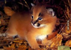 Gorgeus perfection (caracal cat baby)