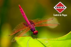 ¿Por qué están las libélulas catalogadas como insectos beneficiosos?  Las libélulas son cazadores sumamente eficientes. Más de 80 por ciento de su cerebro se utiliza para el procesamiento de información visual, y se cree que algunas especies pueden ver objetos de hasta 10 metros de distancia y detectar movimiento hasta 20 metros de distancia.