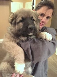 caucasian ovcharka puppy for sale #caucasianshepherd #puppies