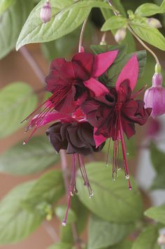 Fuchsia Plant Collection - Veseys