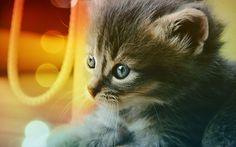 Blue Eyed Kitten Cat background