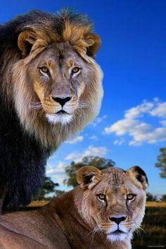 #Animales #León Su Majestad el Rey de la Selva