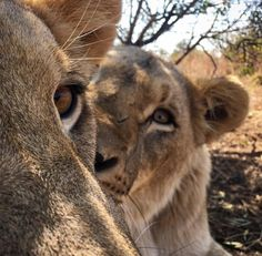 Photo by the LionWhisperer
