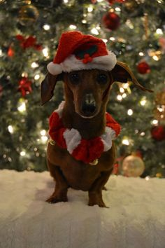 33 Xmas Dogs That Will Make Festivities Have a Greater Meaning - Page 14 of 33 - Barking Tails Weenie Dogs, Dachshund Puppies, Dachshund Love, Cute Puppies, Cute Dogs, Daschund, Christmas Animals, Christmas Cats, Christmas Dachshund