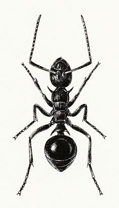 Ant Illustration 1 by sarcoptiform Ant Tattoo, Illustration Art, Illustrations, Bug Art, Insect Art, Ant Insect, Bugs And Insects, Botanical Drawings, Art Reference