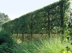 Acer campestre/Field Maple - Trained as a Pleached hedge