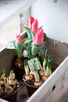 Bratte bakka og grøne lier: Litt vår - Another! Spring Colors, Spring Flowers, Wild Flowers, Rose Flowers, Garden Bulbs, Planting Bulbs, Spring Home, Spring Garden, Container Gardening