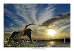 AUSTRALIAN DARTER DRYING - (prints available) bird photography, wildlife photos, pictures with birds, sky photos, pictures of skies, pictures of sunsets, sunrise photos, cloud pictures