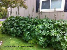 bear's breeches acanthus  mollis