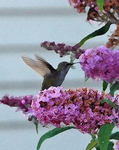Hummingbird - photography with some digital art manipulation....beautiful bird!