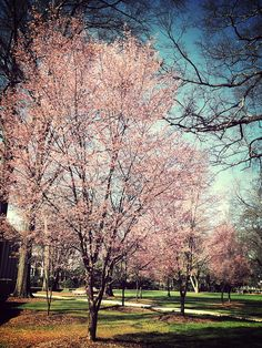 Cherry blossoms, on the University of Alabama campus 2/20/12 --- photo by #amyalohio of pinterest and flikr
