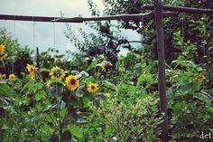 #słoneczniki #kwiaty #fotografia